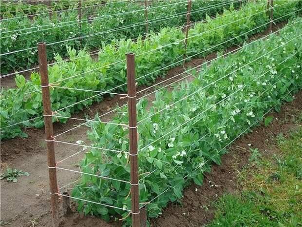 Выращивание гороха: секрет увеличения  урожая в 4 раза