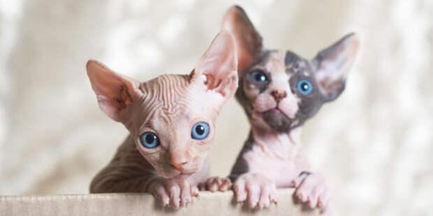 (Видео) Дреды нравятся не только девушкам, но и коту сфинксу – убедитесь сами!
