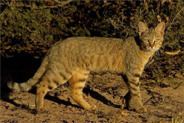 http://planetcat.info/img/big/stepnaya3.jpg
