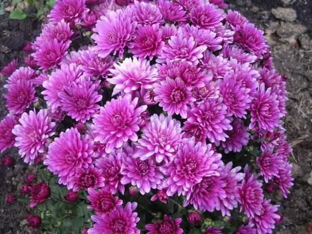 Зимнее хранение хризантем