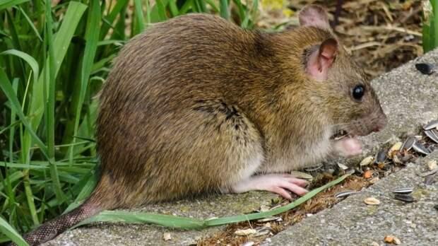 «Крысы напали на слепого»: грызуны держат в страхе жильцов саранской многоэтажки