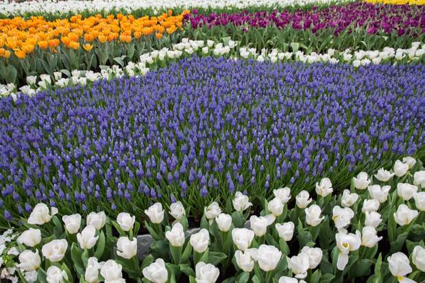 Лаванда и тюльпаны на клумбе