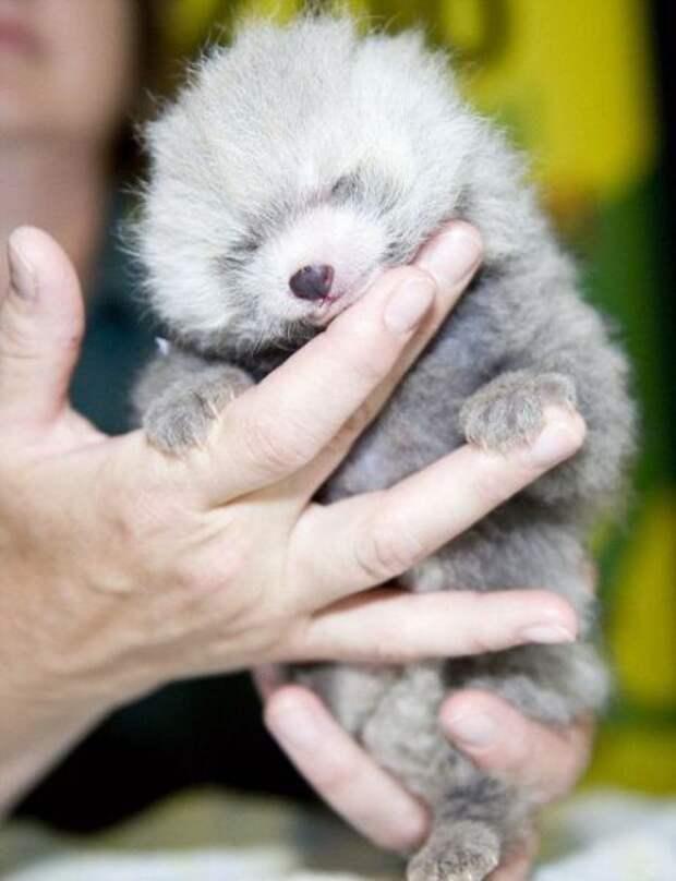 """Красная панда """" Блог новостей в больших фотографиях"""