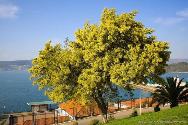 Знайте это не «мимоза» — цветы что мы дарим на 8 марта