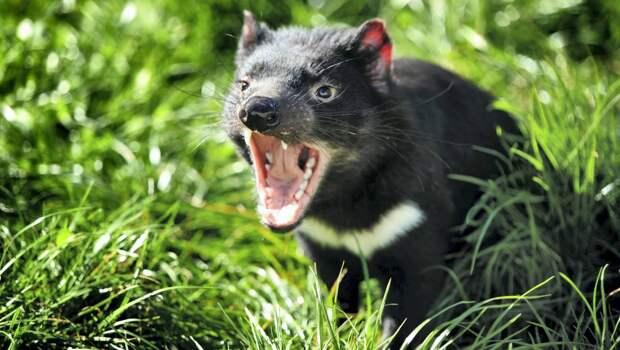 Самые интересные животные мира. Тасманский дьявол