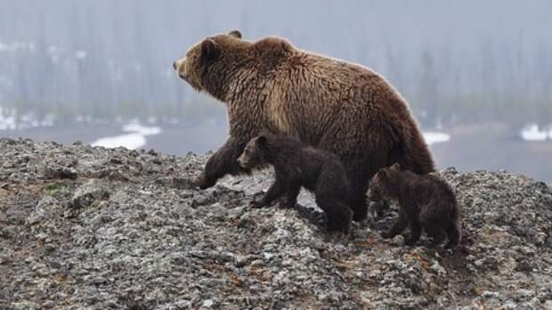 Власти Уссурийска планируют передать спасенных от наводнения медведей частным зоопаркам