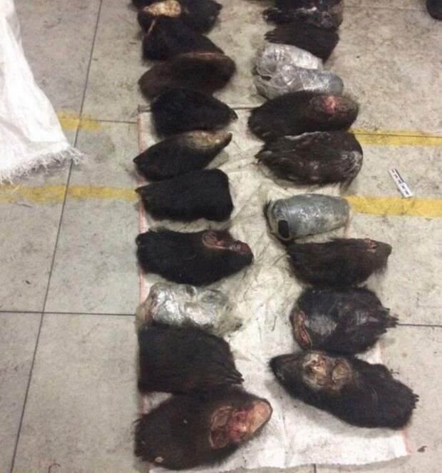 В Забайкалье поймали контрабандиста с сотней медвежьих лап