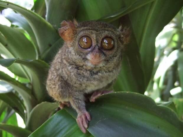 Восточный долгопят (Tarsius tarsier)