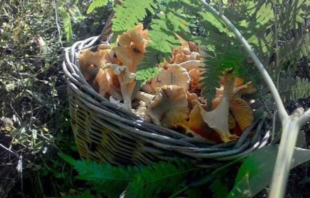 Почему лисичку называют «еврейским грибом» и правда ли, что ее не едят насекомые