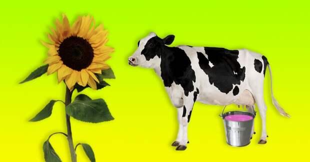Оказывается, если корову кормить семечками, она будет давать малиновое молоко