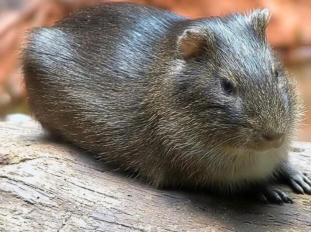 Бразильская свинка Cavia aperea, дикий предок домашней морской