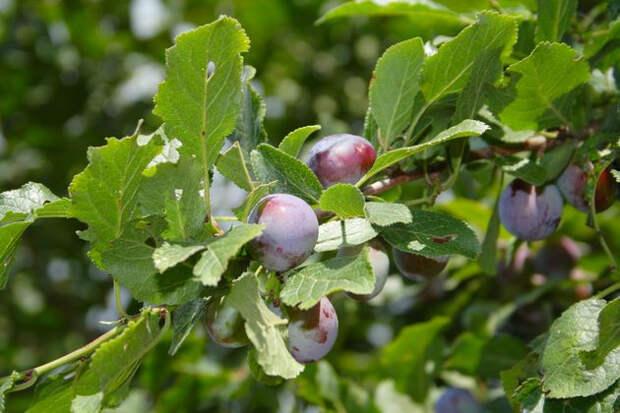 Когда лучше сажать плодовые деревья и кустарники
