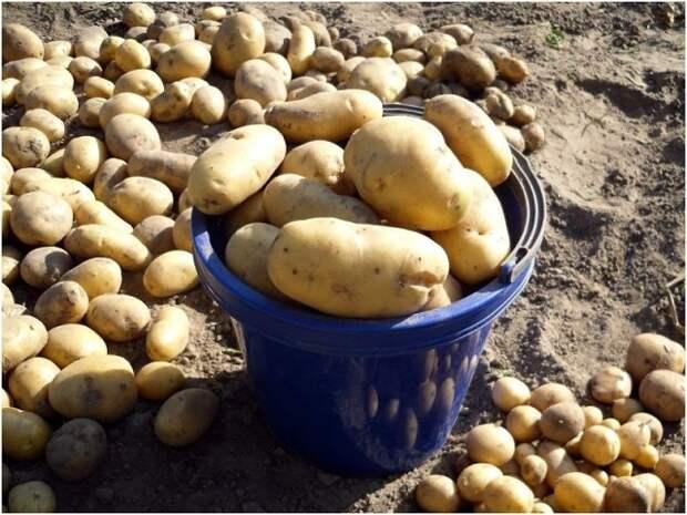Что влияет на созревание картофеля и когда лучше копать картошку