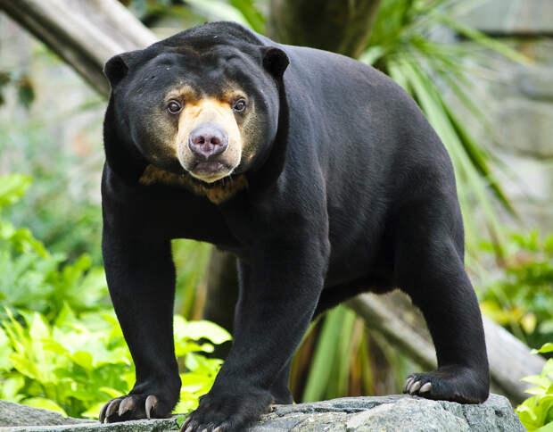 Самые интересные животные мира. Солнечный медведь
