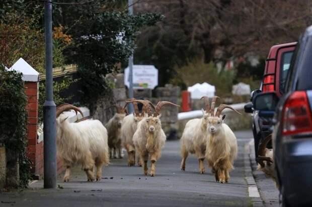 Карантин — для людей, прогулки — для зверей: улицы британских городов заполонили олени и козы
