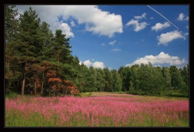 Фотография иван-чай из раздела пейзаж - фото.сайт - Photosight.ru