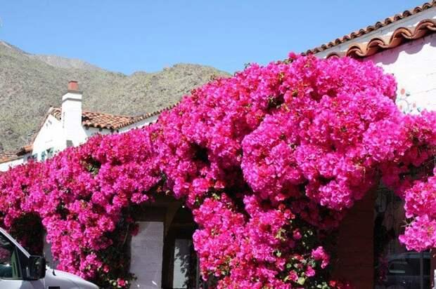Бугенвиллея – растение для украшения архитектуры