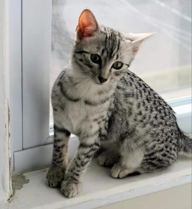 Котёнок египетский мау, родился в очень плохих условиях, после чего судьба ему улыбнулась.
