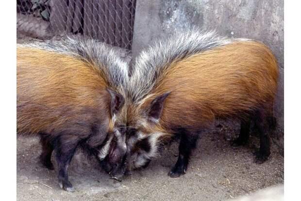 Кустарниковые свиньи не прочь поиграть и с человеком: эти животные совсем не боятся людей
