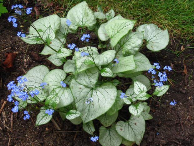 Многолетний садовый цветок Бруннера (Brunnera)