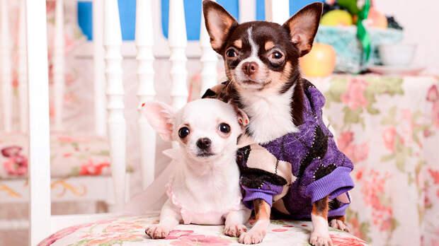 Собаки маленьких пород: в чем удобство и трудности содержания декоративных питомцев