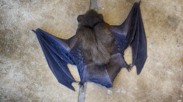 Китайские ученые выявили у летучих мышей новый коронавирус