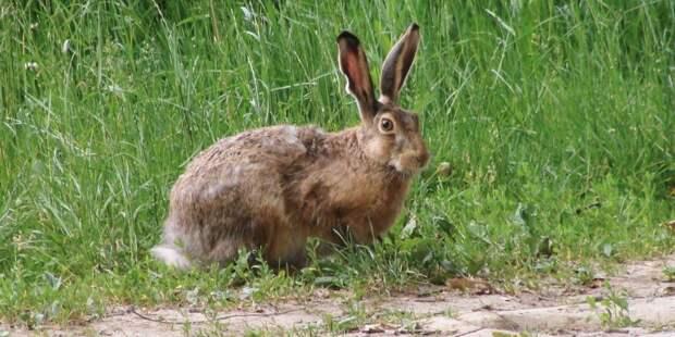 В парке «Москворецкий» поселился заяц-русак