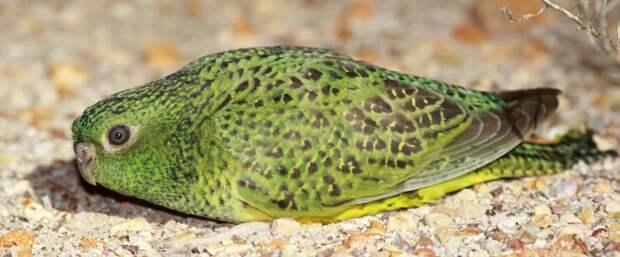 Земляной попугай: Отказался от полёта, а вокруг ядовитые хищники. Зато он научился бегать как псих
