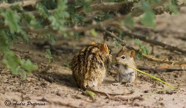 родители животные с их детенышами  мышь