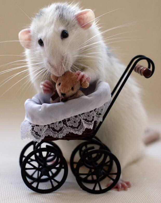 Умилительные крысята с игрушками