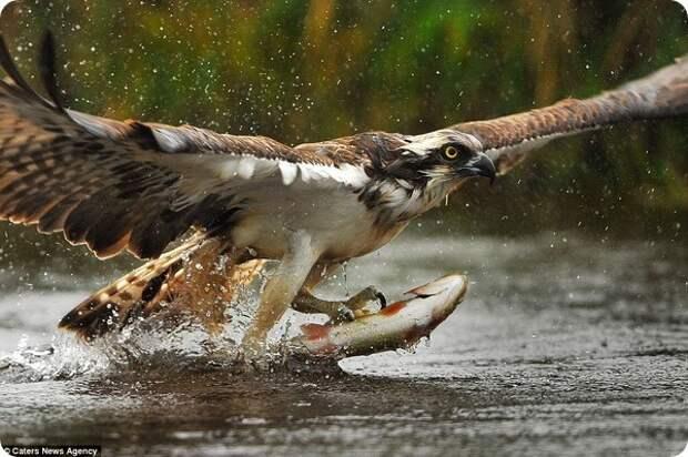 Британский фотограф сделал уникальные кадры скопы-рыболова