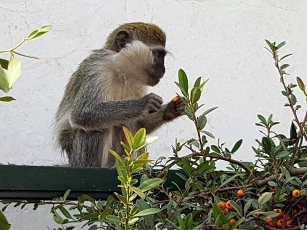 Сейчас обезьянки потихоньку отъедаются и привыкают к более свободной жизни.