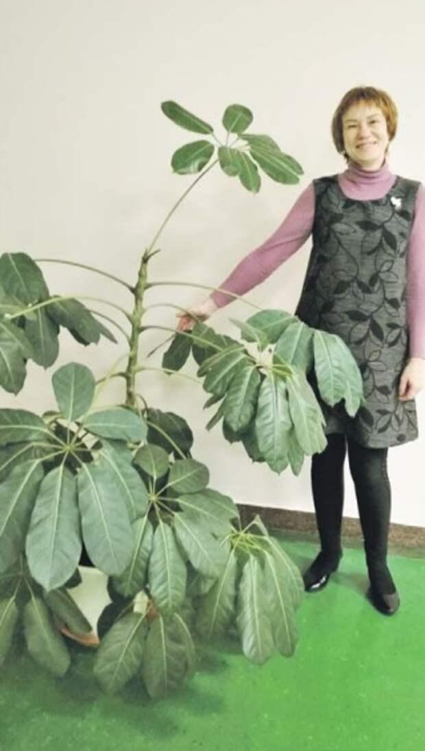 Жительница Бабушкинского вырастила шеффлеру ростом с человека