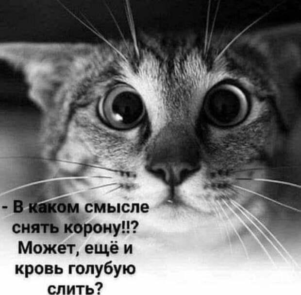 Возможно, это изображение (кот и текст «смысле снять корону!!? может, ещё и кровь голубую слить?»)