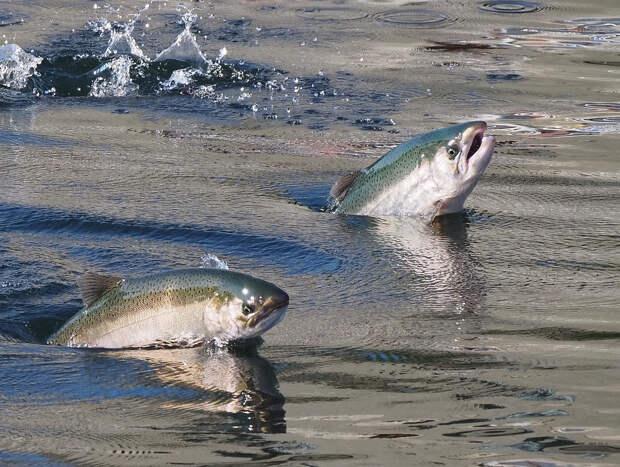 Громко, словно самолет: как звучат брачные песни рыб