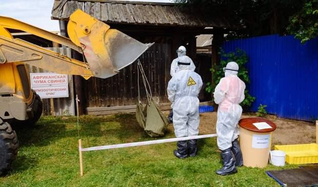 Очаг африканской чумы свиней «ликвидировали» в Удмуртии